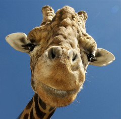 A Saturday smile (ucumari) Tags: nc north carolina april giraffe mooresville 2011 lazy5ranch specanimal ucumariphotography dsc9069