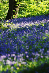 Bluebell Woods, West Sussex, UK (Puckpics) Tags: flowers summer playing flower colour bluebells woodland garden spring play gardening pastel flowering bluebell photogenic springcolour flowergardening woodlandwalks