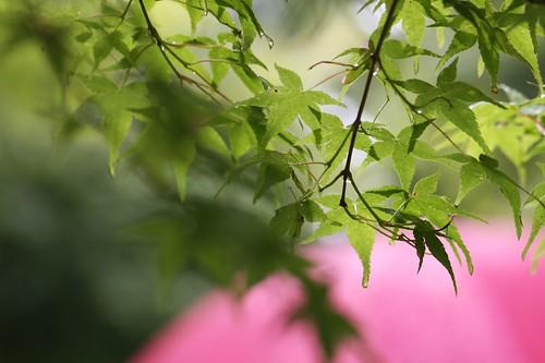 雨の中のもみじ / Maple in the rain