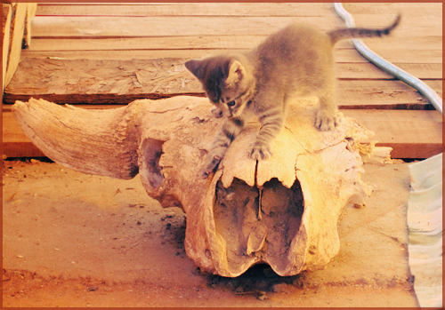 a kitten on a bison skull