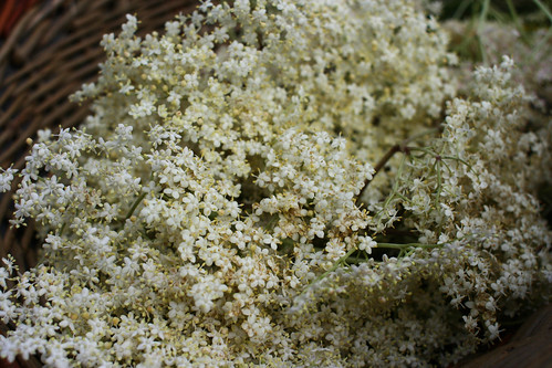 Elderflower harvest