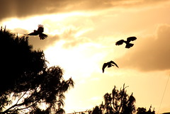 Flying red tailed black cockatoos [explored] (CarlosSilvestre62) Tags: sunrise sydney australia explore nwn explored redtailedblackcockatoo carlossilvestre62 carlossilvestre62explored flyingredtailedblackcockatoos