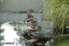 Living together (dutchmetal) Tags: water living duck turtle culture together eend redearedslider