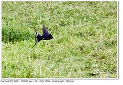 2011_06_24_3580 (John P Norton) Tags: bird fauna f80 swallow bif birdinflight aperturepriority ef100400mmf4556lisusm focallength120mm 13200sec canoneos60d copyright2011