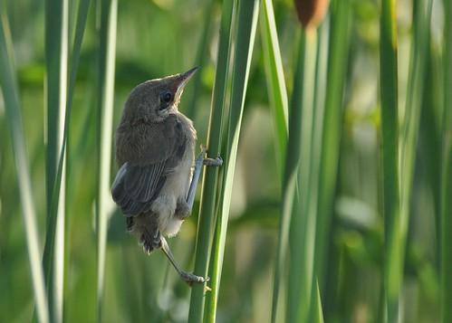 Acrocephalus scirpaceus - Eurasian Reed-Warbler - Rousserolle effarvatte (Juv) - Richaner ar c'horz - 26/06/11