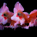 coral gladiolous