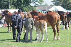 Suffolk Punch Mare and Foal (messy_beast) Tags: horses mare essex draft draught langford foal suffolkpunch heavyhorseshow museumofpower