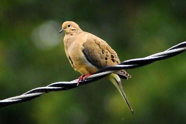 wet dove on a wire
