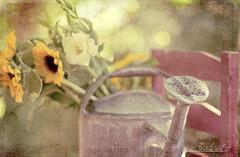 fresh picked (mmgdoherty) Tags: flowers summer yellow garden sunflowers wateringcan redchair