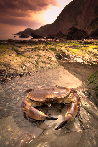 478/1000 - Crab on Woody Bay by Mark Carline