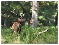 Cerf (guiguid45) Tags: nature animaux mammifres fort cervids cerf cervuselaphus cerfelaphe reddeer boutissaint parc yonne d810 nikon 500mmf4 brame