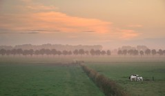 The Dutch morning - HFF (marielledevalk) Tags: happyfencefriday hff clouds sky trees landscape cow mist morning