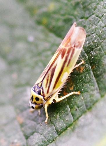 Leafhopper - Eupterycyba jucunda