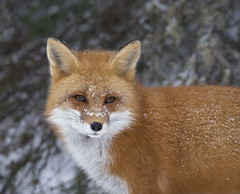 Red Fox (KvonK) Tags: fox redfox winter algonquinpark 2016 kvonk