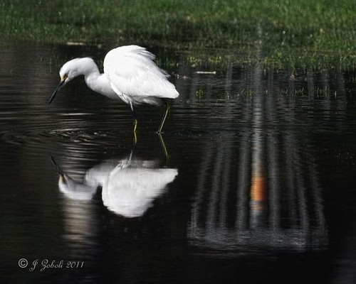 Snowy Egret with Disc/Frisbee/Golf Game Basket Reflection
