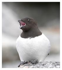 Little Auk 4 (leo.roos) Tags: birds svalbard arctic spitsbergen a700 tc14 darosa littleauk allealle fuglesangen northwestislands sony7020028 7950nand01123e kleinealk leoroos