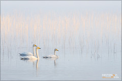 Whooper Swan (Nicola Destefano) Tags: sunset white lake bird animal finland wildlife whooperswan cygnuscygnus cignoselvatico