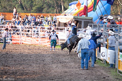 Tex Mackay (Deon Mackay Photograpy) Tags: life travel horse music hat bareback spurs pain cowboy mud boots barrels country stock hard hats horns 8 rope flags bull bulls jeans dirt rodeo rough cowgirl steer cockatoo dust clowns cowgirls rider crowds swags chaps buckles bronc seconds skill hoofs competitor areana hores bulfighting barrelrace saddlebronc