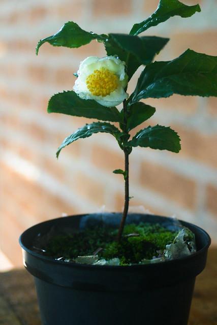 Camellia sinensis...