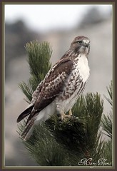 Red Tailed Hawk in the Pines (metherit) Tags: red canon colorado hawk raptor coloradosprings tailed fantasticnature 40d metherit
