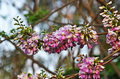 Treading into Spring!  (EXPLORE) (Jehane*) Tags: flowers india bunches buds blooms chennai pinkflowers jehane 2011 bunchesofflowers jehanephotography