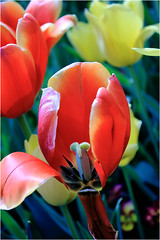 Peep Show (SevenPhotographyDFW) Tags: show plant flower dallas spring arboretum tulip bloom peep