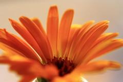 IMG_1950close macro of orange gerbera (jlparmar) Tags: orange macro nature gerbera img1950close