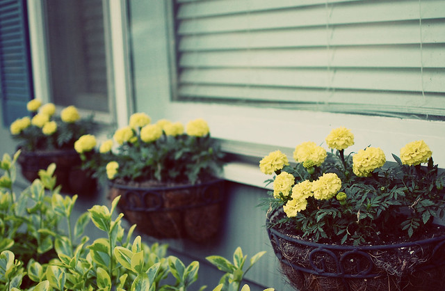 Marigold Window Boxes