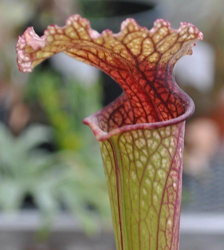 Sarracenia leucophylla x flava var. rubricorpora