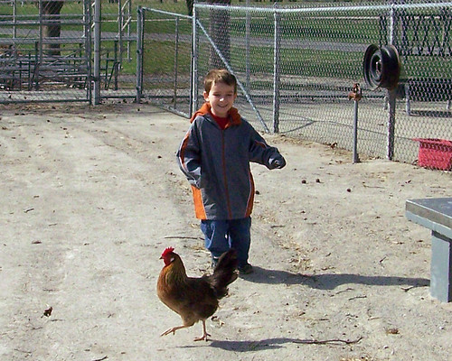 Chasing Chickens 3