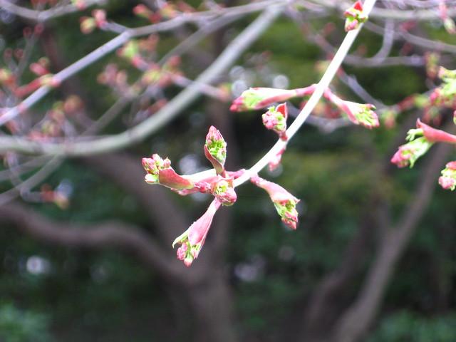 桜の蕾のフリー写真素材