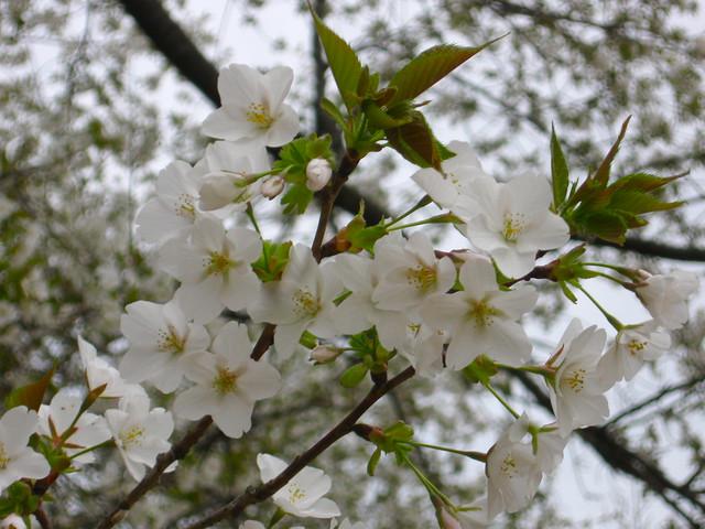 白い桜の花のフリー写真素材