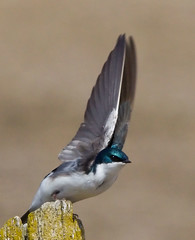 Tree Swallow  taking flight (Phil Armishaw) Tags: county wild copyright ontario canada tree birds phil swallow 2011 haldimand armishaw