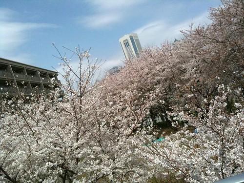 オペラシティをバックに満開の桜。