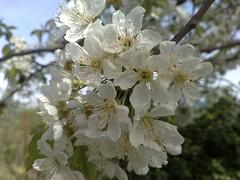 cherry ciliegio primaveraspringfioriflowercolorcolorin82nokia