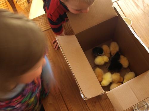 chicks 001