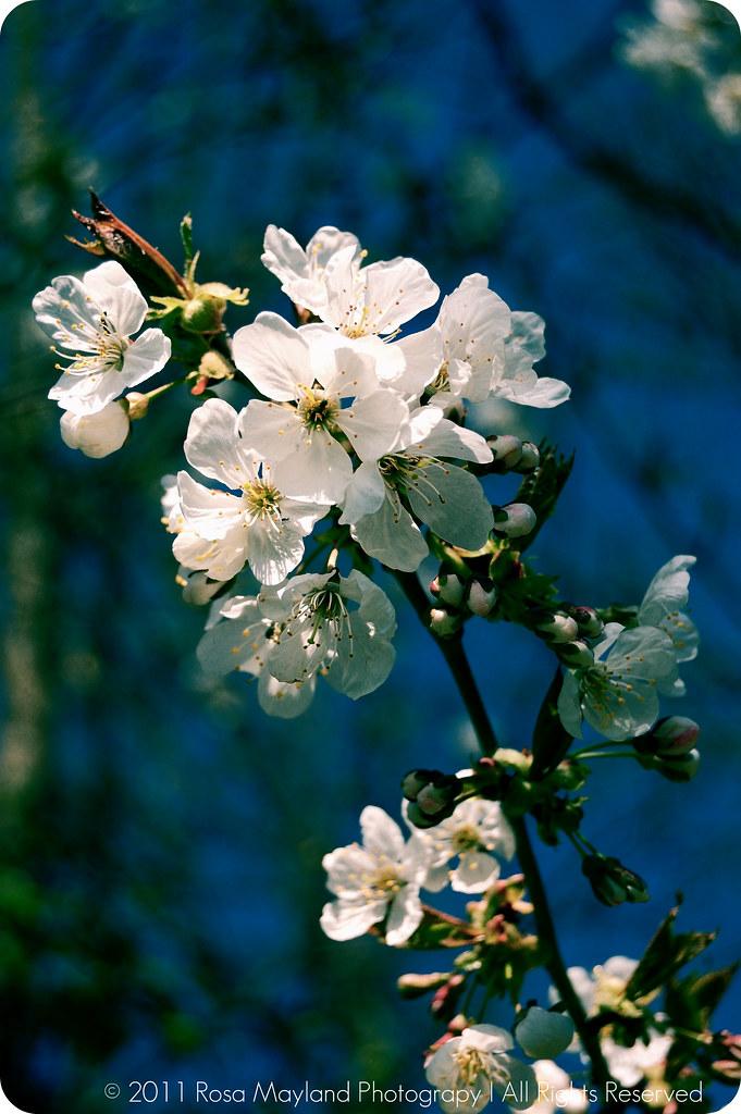 Springtime Cherry Blossoms Sun 1.1 bis