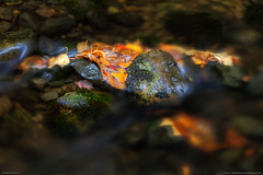 Fall Leaves in Maine Stream (Greg from Maine) Tags: autumn orange fallleaves fall nature water yellow landscape leaf moss rocks stream maine newengland autumnleaves brook flowing greenmoss fallseason autumnseason