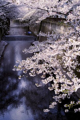 フリー写真素材, 花・植物, 桜・サクラ, ピンク色の花, 日本, 東京都,