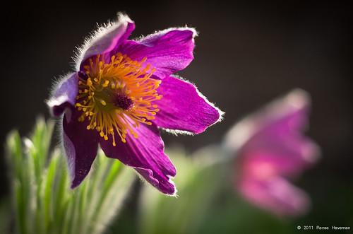 April 15th - Pulsatilla vulgaris