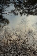 8994 (billpusztai) Tags: mist black tree fog forest fire photography photo haze oak quercus soft smoke stock burn ashes buy ash atmospheric prescribed velutina