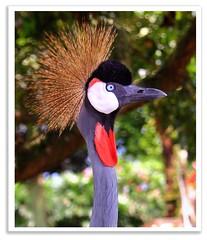 Grey Crowned Crane : Bird stock photography : (Kenny Teo (zoompict)) Tags: light bird beautiful animal wonderful lens zoo photo yahoo google photographer view best getty colourful kenny  zoompict singaporelowerpiercereservoir