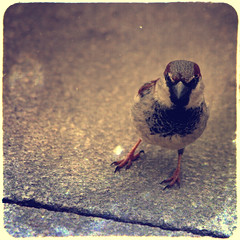 (sommerpfuetze) Tags: street bird texture animal square sparrow housesparrow spatz sperling fakettv jederhatnenvogel