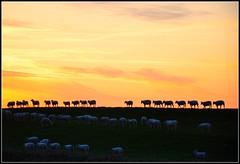 An Exodus (powerfocusfotografie) Tags: sunset orange holland colors animals landscape sheep groningen dike henk exodus usquert powerfocus nikond90 100commentgroup