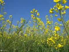 Colza - IMG_1072 (Marco Lamberto) Tags: flower primavera nature yellow canon spring natura powershot fiore g11 colza