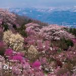 Sakura - Beautiful Fukushima