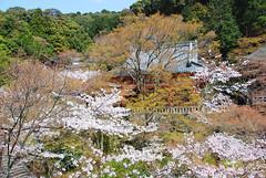 DSC_0528-2 (yhshangkuan) Tags: japan spring kyoto blossom bloom  cherryblossom sakura  kiyomizudera  fullbloom 2011