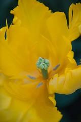 21042011-ALG_5264 (nikontino) Tags: holland de 21 amarillo tulip di april holanda bunga indah bola   olanda kuning  keukenhof tulpe tulipano  bulbo   bulbos tulipn   lisse       2011    belanda              tulpenzwiebel   keukenhof21april2011lissehollandtinostulennikontino