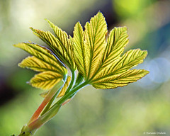 Die Natur entfaltet sich (Renate Dodell) Tags: green nature leaf bokeh natur structure grün blatt stuktur mygearandme mygearandmepremium mygearandmebronze dorenawm