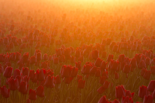 Sun Drenched Tulips by expatdawn